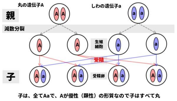 メンデルの法則図