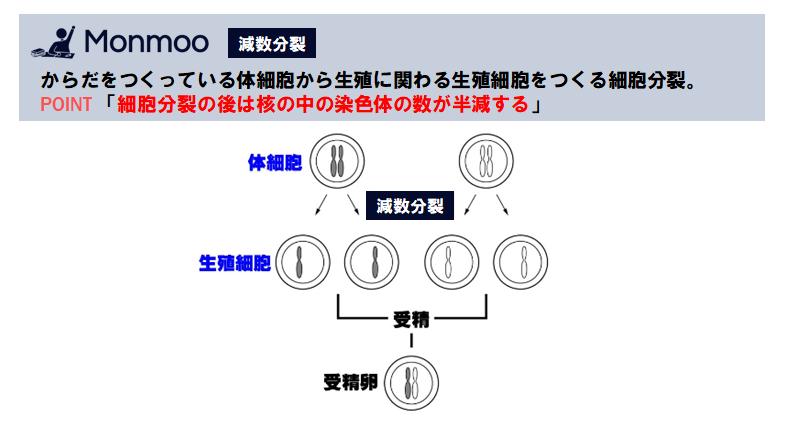 減数分裂(中学理科)