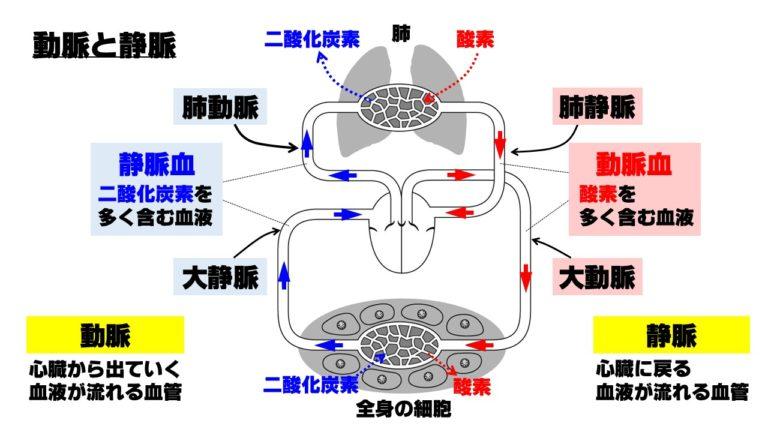 ヒトの循環