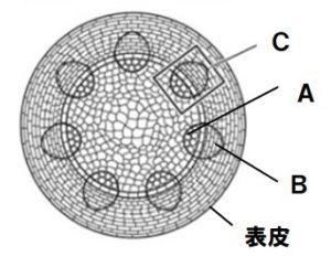 茎のつくり図