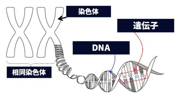 染色体と遺伝子