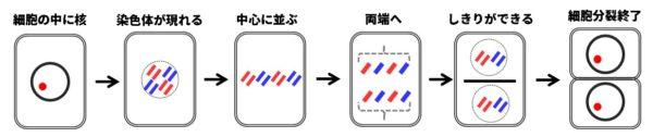 細胞分裂の過程図