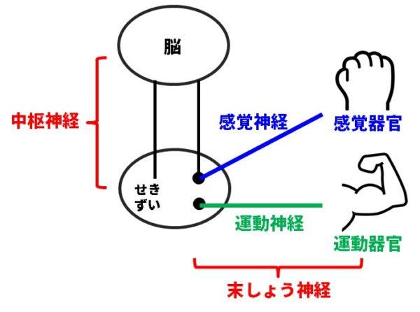 神経系のモデル図