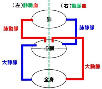 血液の循環図