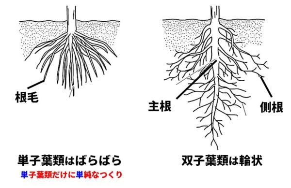 根のつくり図